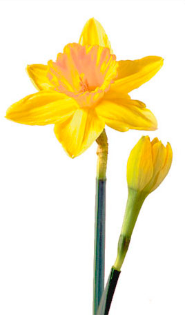 Daffodil Days (through March 1)